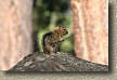 images/Trails/LakeTahoe/Tahoe-Chipmonks-8JUL05-09.jpg